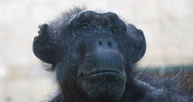 Šimpanzice Brigitte v plzeňské zoo.