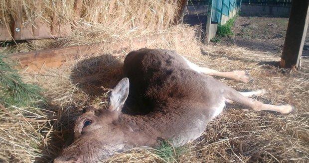 V zookoutku v Kunraticích zemřel mladý daněk. Lidé ho nakrmili sladkým a plesnivým pečivem.