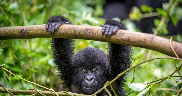 Gorily v Národním parku Virunga.