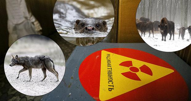 Do Černobylu se vrací život. V okolí reaktoru pobíhají medvědi, koně a vlci