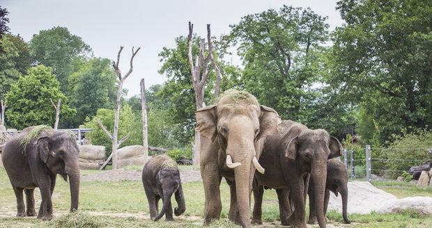 Mezinárodní den slonů se v Zoo Praha chystá na sobotu.