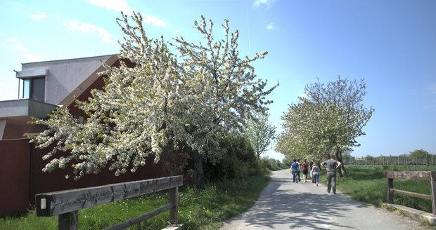 Procházka pod rozkvetlými třešněmi.