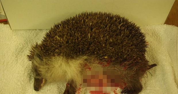 Zvířecí záchranáři ošetřují pokousané ježky. Prosí majitele, aby své psy lépe hlídali.