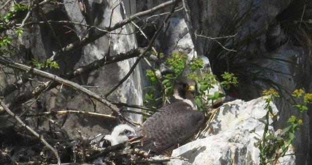Sokolí samec na Býčí skále si čerstvé potomstvo pečlivě hlídá.
