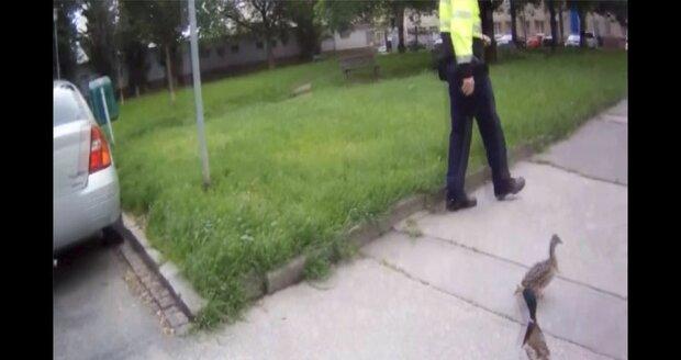 Brno není žádný holubník! Strážníci s příhodnými jmény naháněli po městě kachny