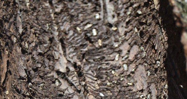 Vědci: Kůrovec může napadnout 15 procent Šumavy. Nejhůř dopadnou smrky