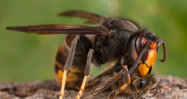 Sršeň asijská je nebezpečná především pro včely.