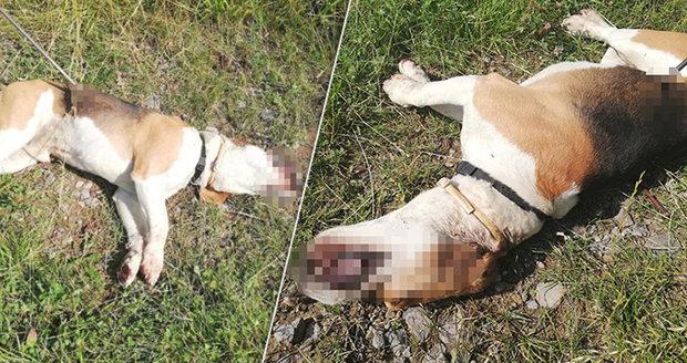 Otřesné! Nevinného pejska někdo bezdůvodně zastřelil: V těle měl šíp!