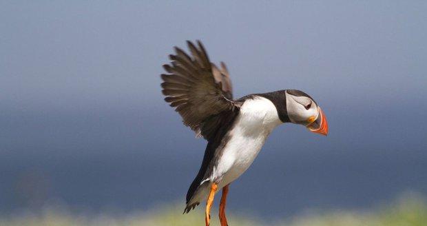 """""""Tepelná báň"""" ohřála Aljašku na víc než 30 stupňů. Mořští ptáci umírají hlady"""