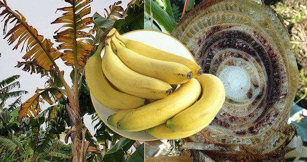 Banány ohrožuje nejméně 16 nemocí. Černé vyhlídky žluté pochoutky řeší i OSN