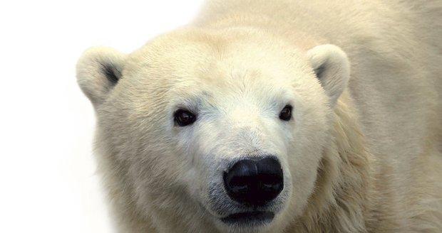 Miroslav Bobek, ředitel pražské zoo, oznámil, že zemřela lední medvědice Bora.