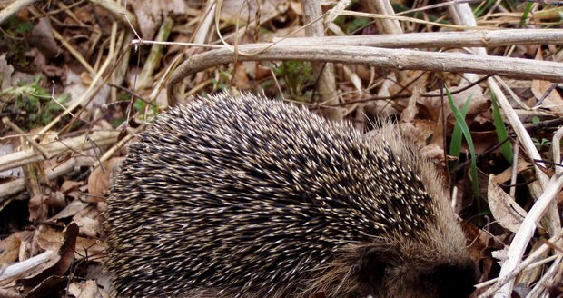 Ve čtvrtek se do Prokopského údolí vrátí mladí ježci.(ilustrační foto)
