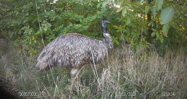 Brněnští strážníci zavřeli do ohrady ptáka emu, který týden prchal svému majiteli.