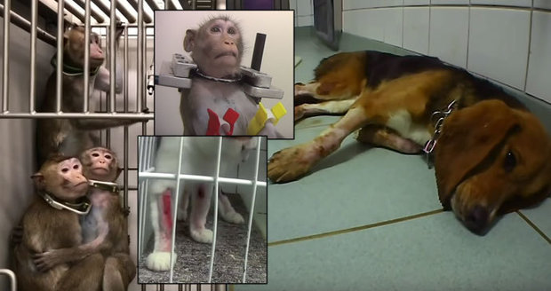 Monkeys in vices and bleeding dogs. Animal protectors filmed a horror lab