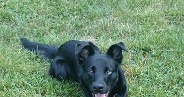 Postrádal se pes Šiki, který byl odcizený u Billy na Červeném vrchu. Nyní už je doma v bezpečí.