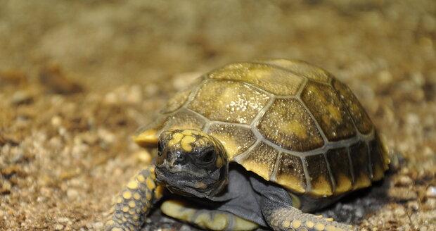 Želva pralesní narozená v Zoo Zlín.