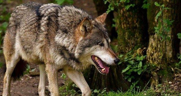 Na Třinecku se objevili vlci.