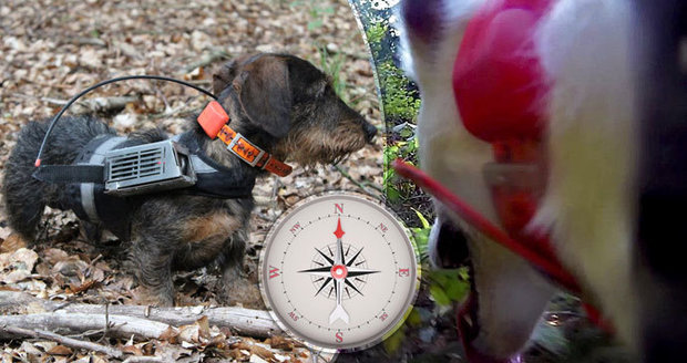 Dachshund with GPS revealed the magic of dog navigation.  Thanks to the Earth, the Hafani have a map in their heads
