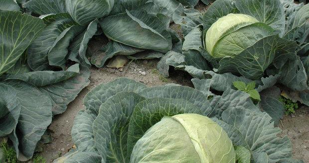 Na začátku října vrcholí sklizeň košťálové zeleniny.
