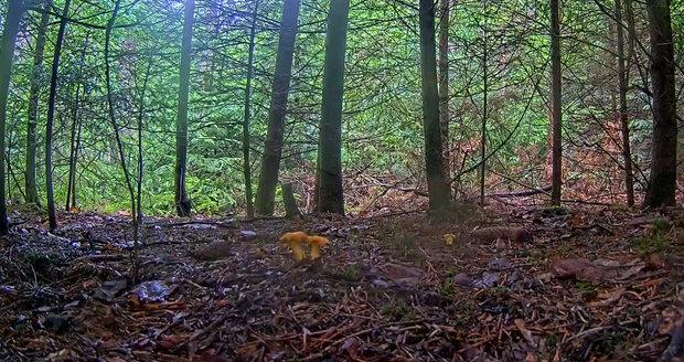 Kamera v živém přenosu tentokrát sleduje růst lišek obecných v lese u Jevan.