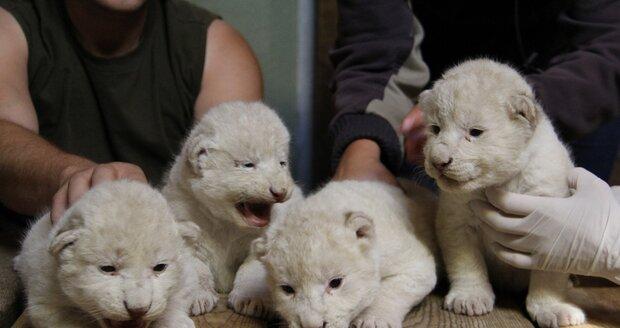 Velká událost v Zoo Hodonín: Narodila se tu vzácná lví čtyřčata! Po rodičích jsou bílá.