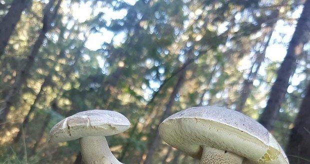 Trojici srostlých hříbků vyfotil houbař Mike Koukal.