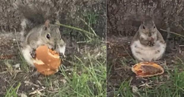 Nadváhou kvůli fast foodům trpí už i zvířata? Video s veverkou pojídající cheesburger baví internet