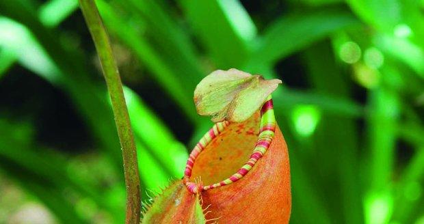 Masožravka láčkovka umí do své pasti ulovit i drobné obratlovce.