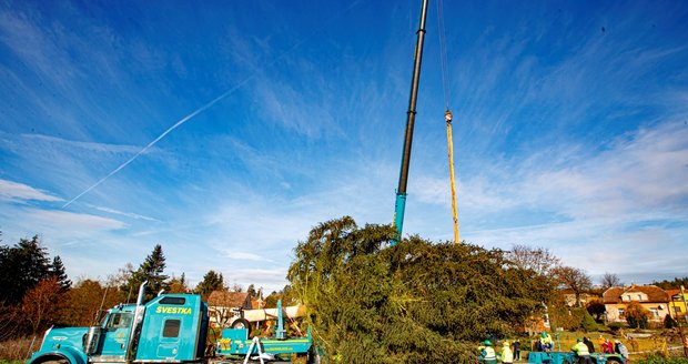 V neděli 22. listopadu pokáceli strom v Kamenném Přívozu, který bude zdobit Vánoce 2020 na Staroměstském náměstí v Praze.