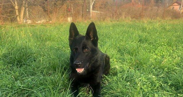 Policejní pes Gorbi vyčenichal na severu Plzeňska zloděje.