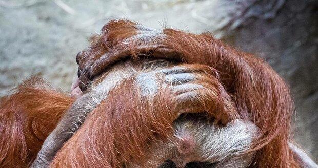 Malý orangutan, který se narodil 17. listopadu v Zoo Praha, je kluk.