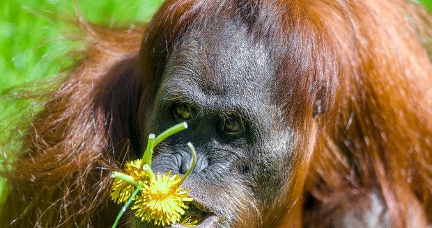 Orangutánek Kawi poprvé venku (9. května 2021).