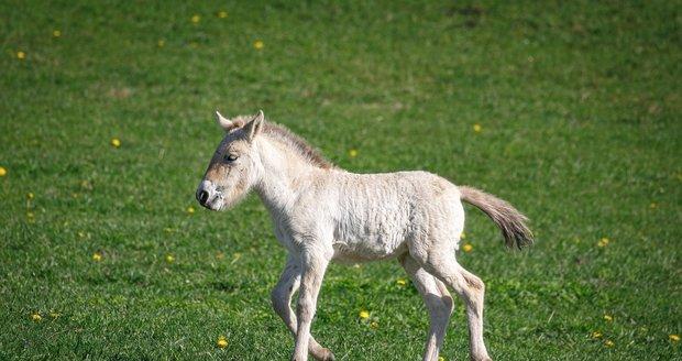 Nejstarší z hříbat, které se narodilo 16. dubna, se zatím jako jediné vzdaluje od matky a začíná se prohánět po dobřejovských pláních.