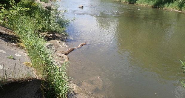 V řece Olši v Českém Těšíně hasiči našli šestimetrovou krajtu mřížkovanou. Byla už uhynulá.