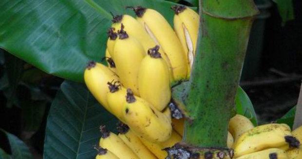 Banány dozrávají postupně.