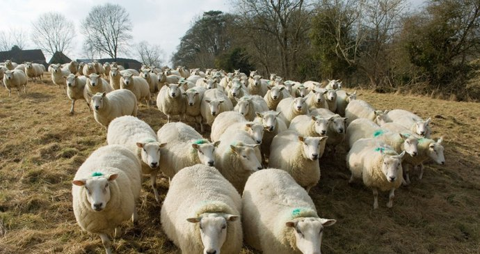 Rychlé a drsné stříhání zanechává ovce s velkými krvavými ranami, které střihači na hrubo.