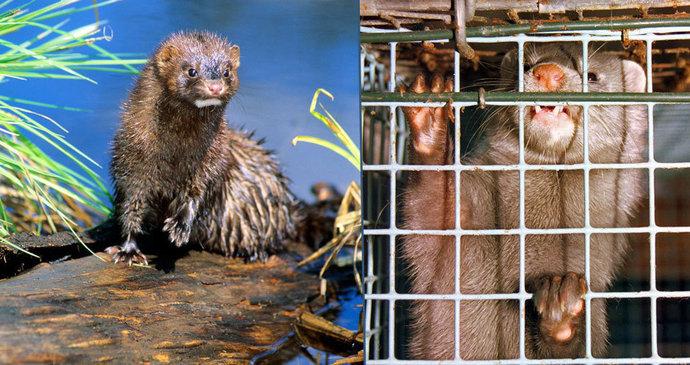e4f98e28ec5 Zvířata chovaná pro kožich  Klece jim ničí mozek jako autismus
