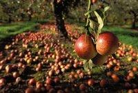 Českých jablek bude málo. Jarní mráz zničil ovoce za 100 milionů