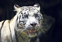 Bílí tygři z liberecké zoo zřejmě zmizí. Co ohrožuje jejich chov?