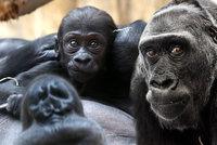 Kamba se má čile k světu, gorilí rodina se chystá na křest mláděte