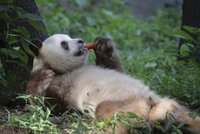 Unikátní hnědá panda si užívá narozeniny: Sebrat mrkev a naštvat ji nechcete!