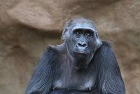 Veliký smutek v pražské zoo! Zemřela gorilí máma Bikira (†26), poranila si žaludek