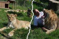 Kočkování se lvem i lvicí: Alex se narodil ochrnutý, teď už krásně běhá!
