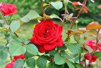 Nejvyšší čas ošetřit růže. Ostříhejte je, postříkejte a zakryjte chvojím