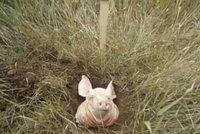 Na muslimských pozemcích někdo zakopal prasečí hlavy: Chtějí je vyhnat!