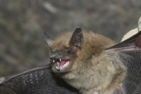 """Útok netopýrů! Do bytu babičky (87) v Brně nalítalo 53 """"okřídlených myší"""""""