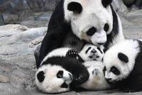 Vzácná pandí trojčata z Číny: Konečně je ukázali mamince!