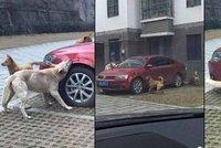 Řidič nakopl psa do zadku: Naštvaný hafan se vrátil s bandou kamarádů a rozkousali mu auto!