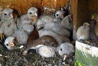 Neuvěřitelný příběh: Lasičku měly sežrat poštolky! Přežila 4 dny v jejich hnízdě!