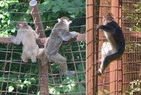 Opičí uprchlíci: Lidé mohou v Olomouci chodit mezi makaky, kteří ale z výběhu utíkají pryč